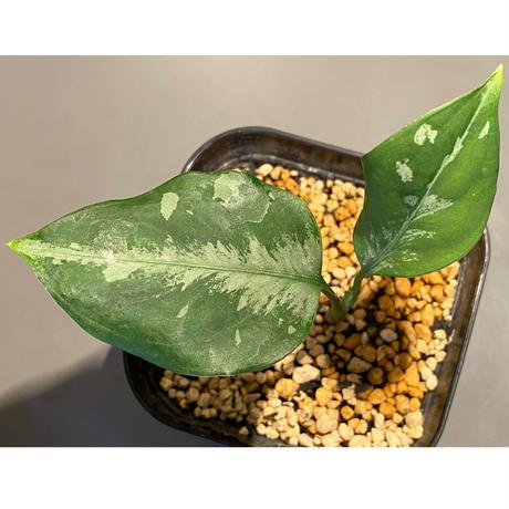 Aglaonema pictum from Sumatera A2 [TK070918]