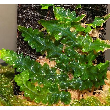 Teratophyllum sp. from Sibolga Timur [HW1017-03]
