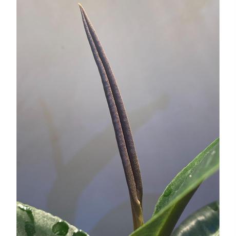 (大株) Ardisia sp. from Aceh Selatan [HW0816-03]