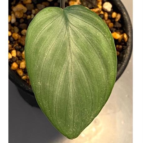 Homalomena sp. Aceh Silver from Aceh sumatera [LA0613-00]
