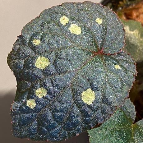 Begonia sp. from Tuyen Quang [YH1117] TK