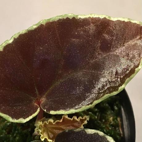 Begonia darthvaderiana from Pulau Kalimantan