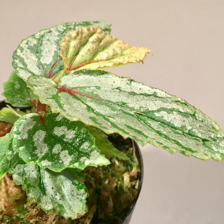 Begonia sp. from Balai Ringin [RIO]
