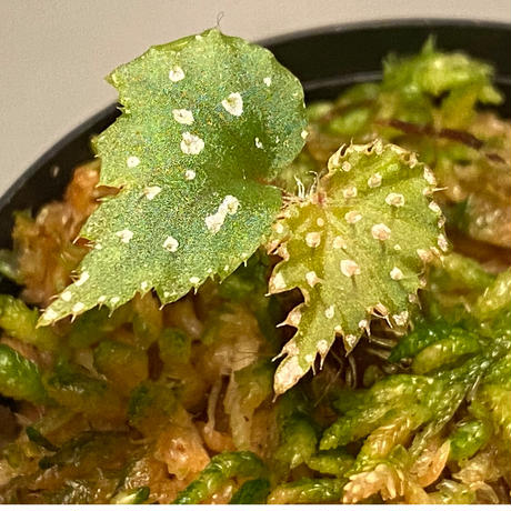 Begonia sp. from Muara Wahau [TB]
