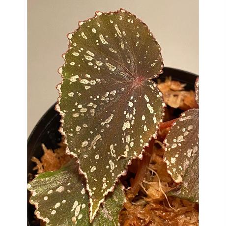 Begonia sp. from Matang [TK160716]