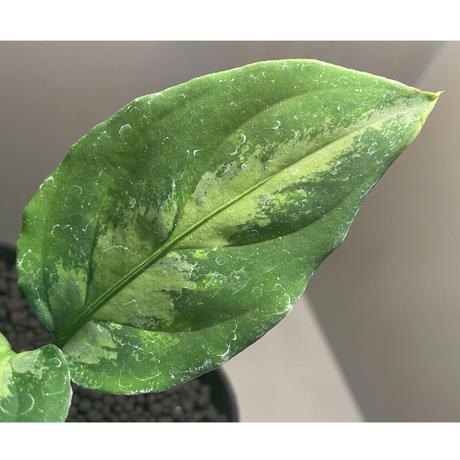 "Aglaonema pictum""マジシャンズグリーン""1st campur from Sumatra Barat【AZ0512-X】"