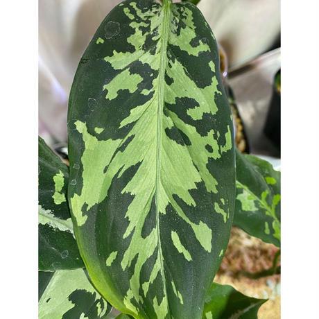 "Aglaonema pictum ""Hierophant-Green"" 法皇緑 from Sumatera Barat [AZ0512-X]"