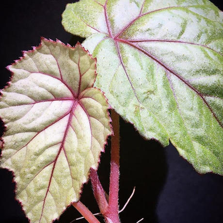 Begonia sp. from Ha Noi [TK140617]