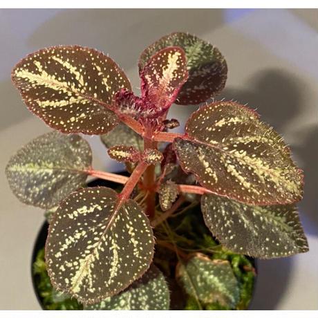 Sonerila cf. calophylla from Selangor [TK120118-1]