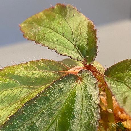 """Begonia sp. from """"Mentarang"""" Malinau Kalimantan utara [TB]"""