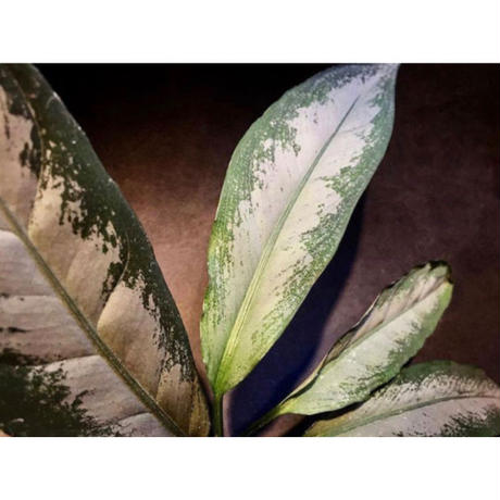 Aglaonema nebulosum from Kuala Rompin [TK220916-2]