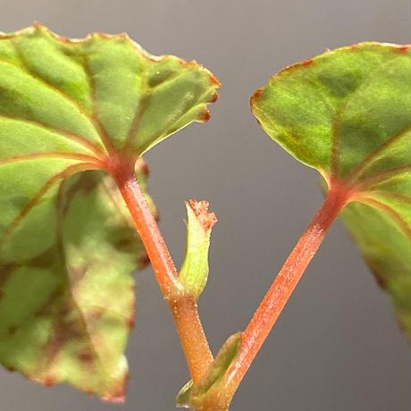 Begonia chlorosticta (Green) from Borneo Sarawak