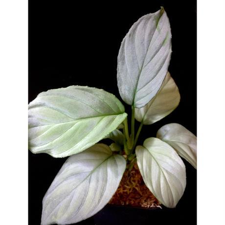 Homalomena cf. humilis from Sumatera Barat [LA0719-02]