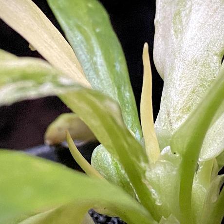 "Schismatoglottis sp. ""初霜錦"" from Murung raya [LA0515-05]"