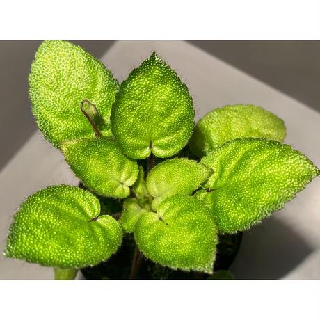 Gesneriaceae sp. from Kalimantan [NT ORCHID]