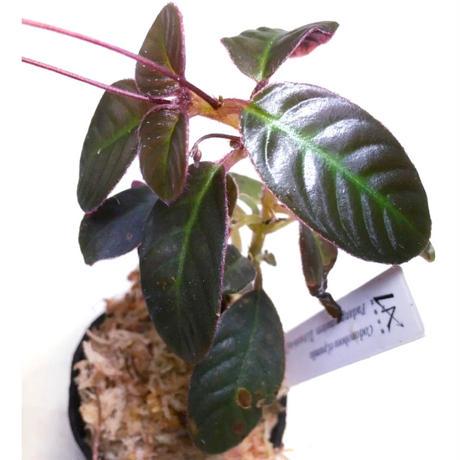 Codonoboea cf. pumila from Padang sumatera [LA1016-01]