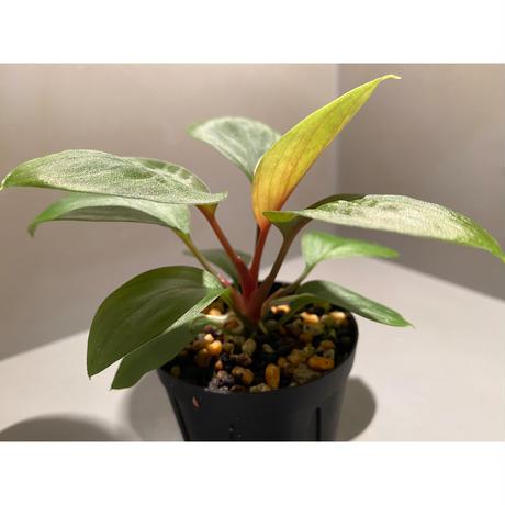 Homalomena sp. from Borneo