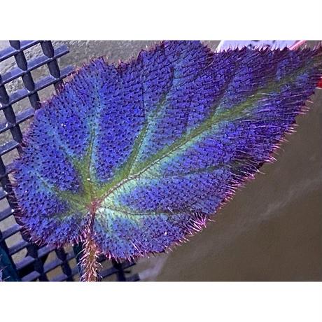 Begonia sp. from Sumatera Utara [HW0816-01]