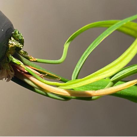 "Homalomena anthurioides from ""Sumatra utara"" [TB]"