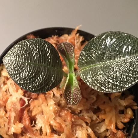 Ophirrizha sp. from Sangau Kalimantan