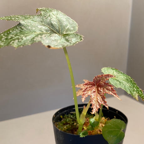Begonia diadema from La Reunion [LA1114-02]