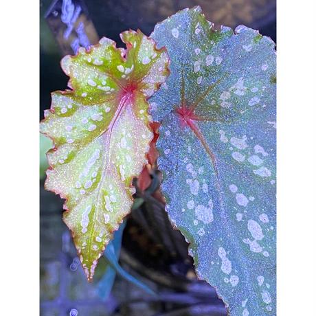 Begonia cf. laruei from Danau Toba [HW0517-02]