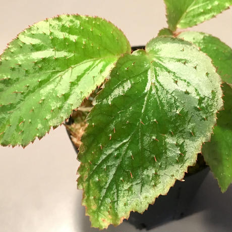 Begonia sp. from Tasik Kenyir [KZT080118-3]