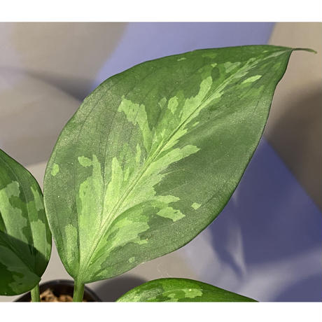 Aglaonema pictum tricolor from Aceh sumatera [LA0819-01b]