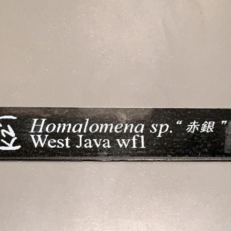 "Homalomena sp. ""赤銀""x? from West java wf1[KZT]タグ付き"