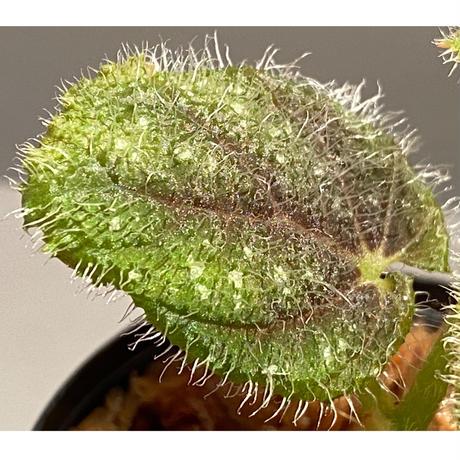 Begonia conipila from Borneo