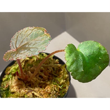 Begonia sp. from Bac Kan [YH1117] TK