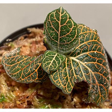 Argostemma neurocalyx from Riau sumatera [LA0815-02]