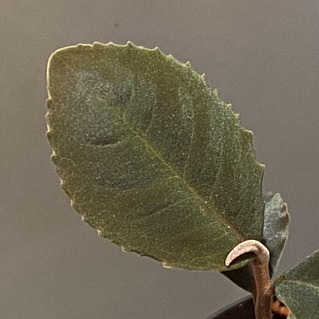 Ardisia sp. from Riau sumatera