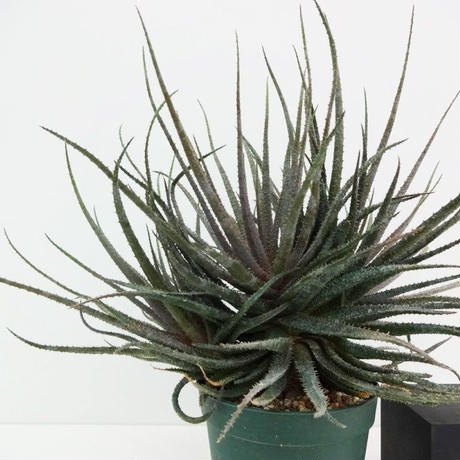 Aloe parvula アロエ パルブラ 女王錦