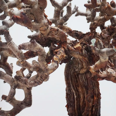 Pelargonium mirabile ペラルゴニウム ミラビレ