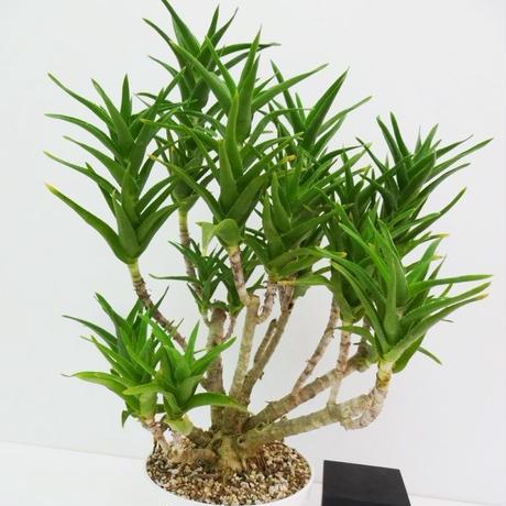 Aloe delaetii アロエ デラエティ