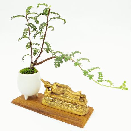 【マイクロ盆栽&仏像(台座付き)】イソザンショウ