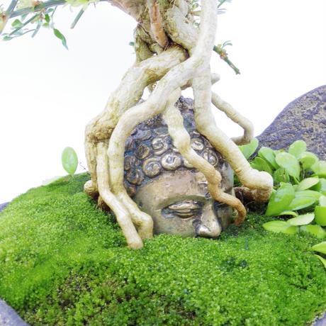 【仏像盆栽】黄梅