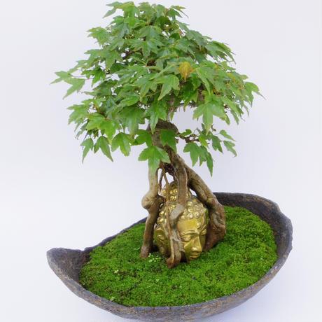 【仏像盆栽】カエデ