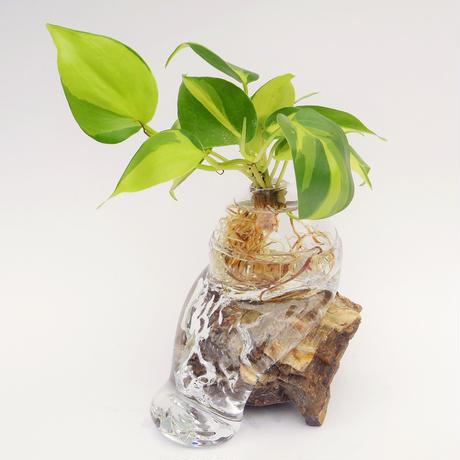 【アクア盆栽】オキシカルジウム
