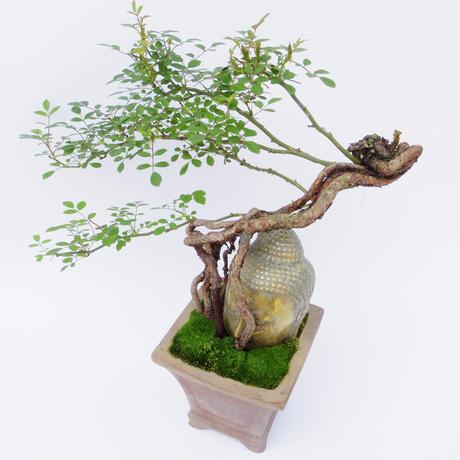 【仏像盆栽】ノイバラ