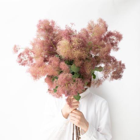 スモークツリー「赤ピンク」