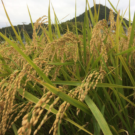 定期便2ヶ月毎 H29年香川県産 朝日玄米5kg