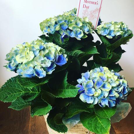 アジサイ グリーンとブルーの綺麗なアジサイ