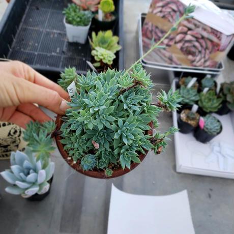 多肉植物 グラプトベリア インスパイア