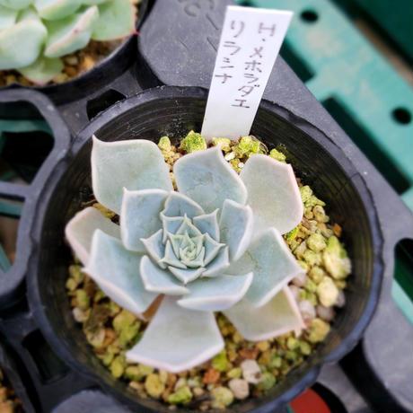 多肉植物 エケべリア 実生苗 ハルビンゲリサンチェスメヨラダエ×リラシナ