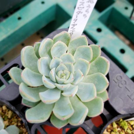 多肉植物 エケべリア 実生苗 花うらら×クスピダータザラゴサエ