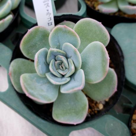 多肉植物 エケべリア 実生苗 (ダルマプリドニス×ラコロ)×月影