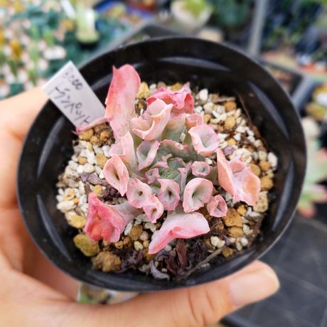 多肉植物 エケベリア トランペットピンキー