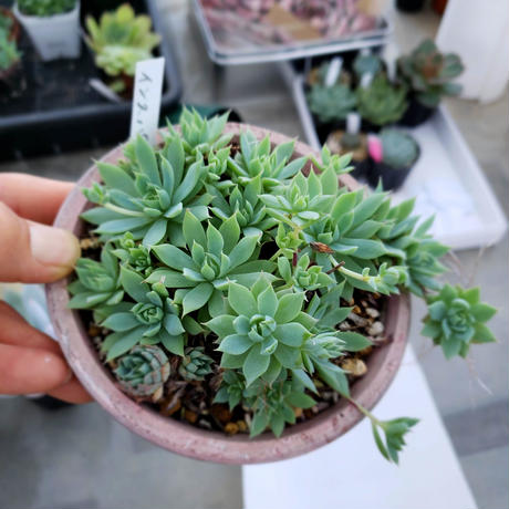 多肉植物 グラプトベリア インスパイア2